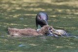 Loon chick with crayfish.jpg