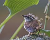 Carolina Wren fledgling.jpg