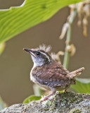 Carolina Wren fledgling 3.jpg