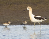 Avocet and sandpipers.jpg