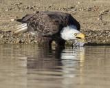 Eagle takes drink.jpg