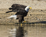Eagle about to take off.jpg