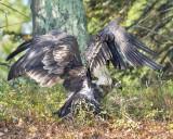 Juvenile Eagle climbed hill.jpg