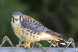 Kestrel male fledgling.jpg