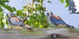 Kestrel male fledglings.jpg
