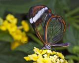 Glasswing Butterfly.jpg