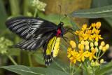Cairns Birdwing Butterfly.jpg