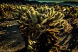 Cholla Cactus backlighted, Joshua Tree NP, CA
