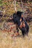 Black Bear cub_20141006-IMG_0705.jpg