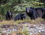 Momma bear and 2 cubs_20141006-IMG_0770-1.jpg
