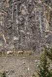 Bighorn Sheep_Jasper_20141007-IMG_0917.jpg