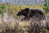 Grizzly at the Rockies_20141001-IMG_9913-2.jpg