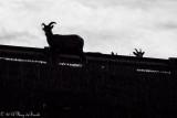 Big Horn Sheep_B&W_20140929-IMG_9636.jpg