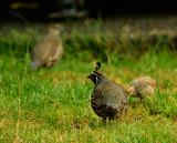 Takahe, flightless, endangered...IMG_0251.jpg