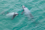 Endangered NZ dolphins are the smallest in the world