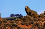 Fur Seal IMG_0704.jpg
