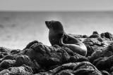 NZ Fur Seal in B&W