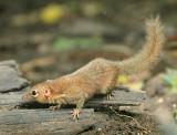 Northern Treeshrew - Tupaia belangeri