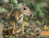 Lesser Mouse Deer - Tragulus kanchil