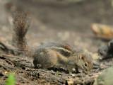 Squirrels - Sciuridae (Eekhoorns)