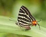 Lepidoptera - Butterflies (Vlinders)