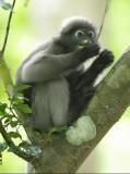Dusky Leaf Monkey - Trachypithecus obscurus