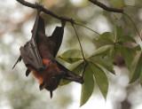Lyles Flying Fox - Pteropus lylei