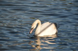 The Local Swan