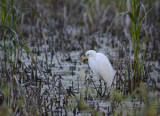egret waiting
