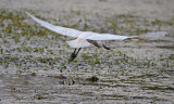 royal spoonbill taking off