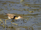 young jacana copy
