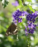 butterfly on geisha girl