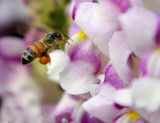 toowoomba bees.jpg