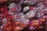 toowoomba flowers 5.jpg