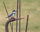 Belted Kingfisher (5102)