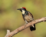 Acorn Woodpecker (Male) (7233)