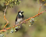 Acorn Woodpecker (Female) (8336)