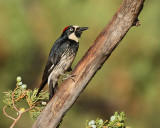 Acorn Woodpecker (Female) (7226)