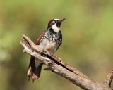 Acorn Woodpecker (Female) (8310)
