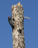 Acorn Woodpecker (Male) (6117)