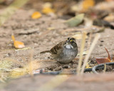 White-throated Sparrow (1609)