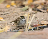 White-throated Sparrow (1614)
