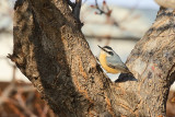 Red-breasted Nuthatch (0072)