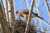 Cooper's Hawk (2911)