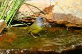 MacGillivray's Warbler (6423)