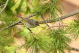 Virginia's Warbler (6462)