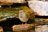 Lincoln's Sparrow (7108)