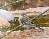 Yellow-rumped Warbler (0803)