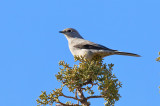 Townsend's Solitaire (4131)