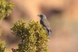 Western Bluebird (4063)